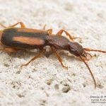 Polistichus connexus, Romania (IS) – 1.july.2016