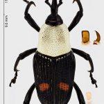 <i>Gypsophorus albicollis</i>, Gabon – december.2013