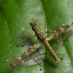 undet Eumastacidae, French Guiana – 2016