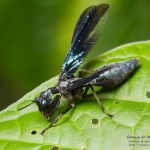 <i>Climaciella semihyalina</i>, French Guiana, 2016