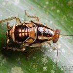 undetermined #2 Blattodea, French Guiana, 2016