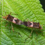 <i>Hypselonotus fulvus</i>, French Guiana &#8211; 2016