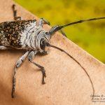 <i>Lochmaeocles callidryas</i>, French Guiana &#8211; 2016